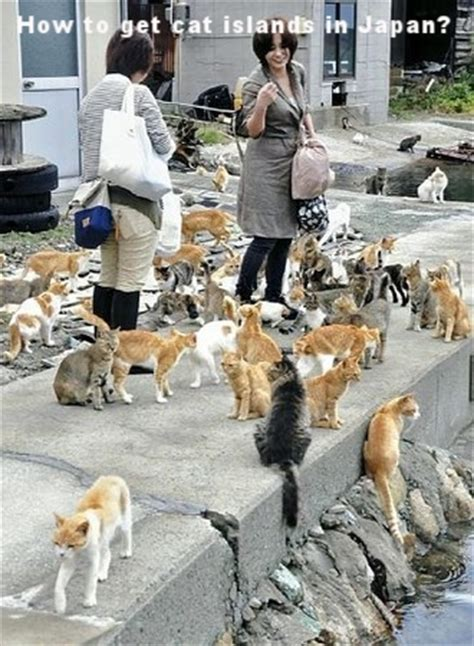 aoshima cat island how to get cat islands in japan aoshima and tashirojima