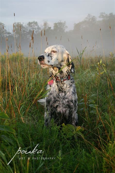 48 best images about english setter on pinterest english setter in a field pouka fine art pet portraits