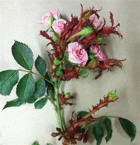 rose rosette disease images  pinterest rosette