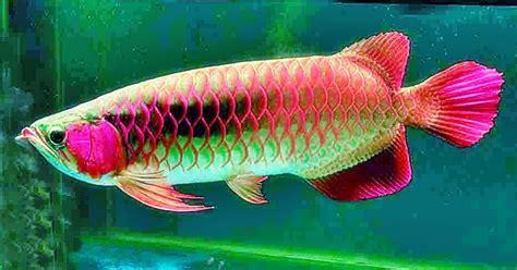 Pakan Alternatif Ikan Koki tips cara memelihara ikan arwana yang baik fish and
