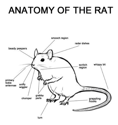 Rat Dissection Lab Worksheet by 17 Best Images About Rat Tastic Reveling In Rats On