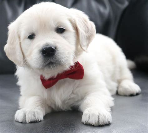 hoobly golden retriever golden retriever puppies available accepting deposits in hoobly classifieds