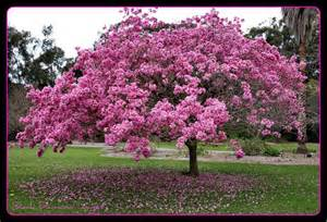 flowering trees pink trumpet preview