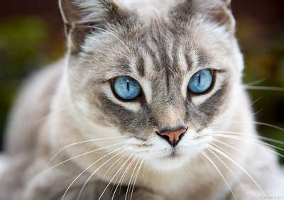 Cats With Blue Eyes   Breeds & Info   Cat World