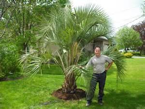 des palmiers pour le qu 233 bec du jardin dans ma vie