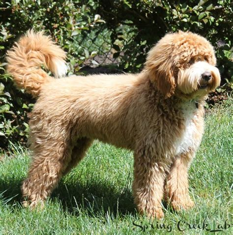 labradoodle puppy cut labradoodle grooming and how to communicate with your groomer creek labradoodles