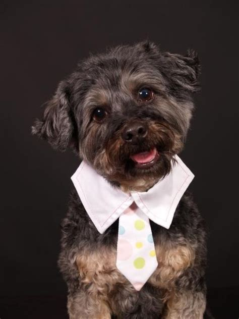 yorkie poo behavior 17 best images about yorkie poo on i want orlando and yorkie