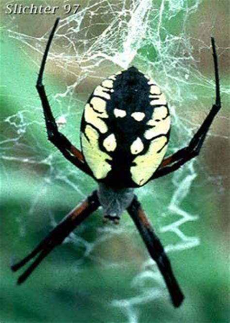 Garden Spider Pacific Northwest Pacific Northwest Arachnids