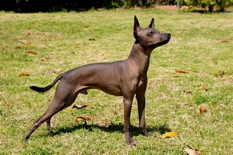 xolo puppies xoloitzcuintli mexican hairless info temperament puppies pictures