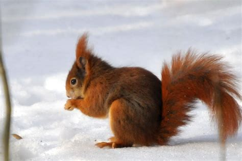 Tiere Im Winter Eichh Rnchen 4539 by Tiere Im Winter Eichh 246 Rnchen 4539 Gt Tiere Im Winter Eichh