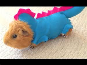 Guinea pig in funny and cute dragon outfit youtube