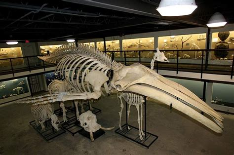 File Domino Whale Bone Hg Jpg Wikimedia Commons - skeletal system skeletons joints bones part two