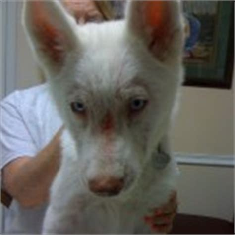hyphema in dogs the vet quot petcare decisions are practical ethical moral and spiritual