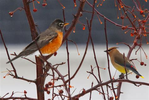 all of nature spring robins