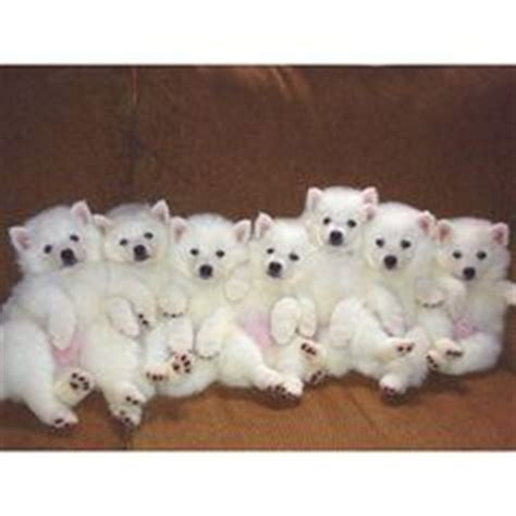 puppies for sale in marquette mi 1000 images about american eskimos aka the cutest dogs on american