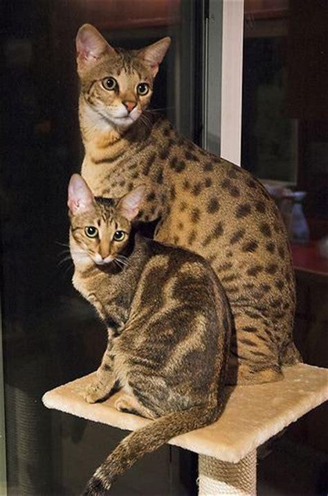 71 best images about *Savannah Cats* on Pinterest   Cats