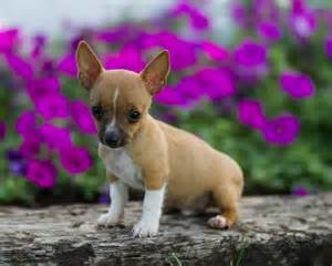 Do Feist Dogs Shed by Feist Chihuahua Rescue Breeds Picture