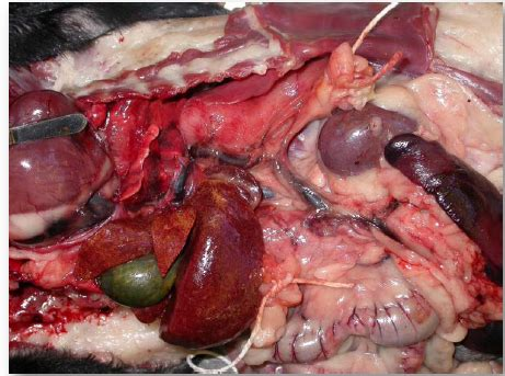 liver shunt in dogs 2 liver and pancreas at ross school of veterinary medicine studyblue