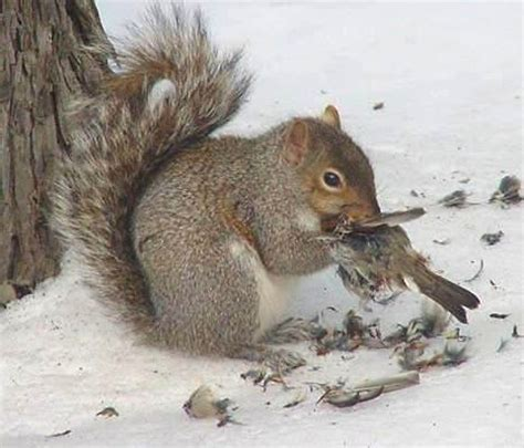 tywkiwdbi quot tai wiki widbee quot squirrel eating a bird