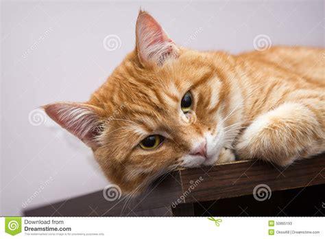 lazy orange lazy orange cat stock photo image 50865193