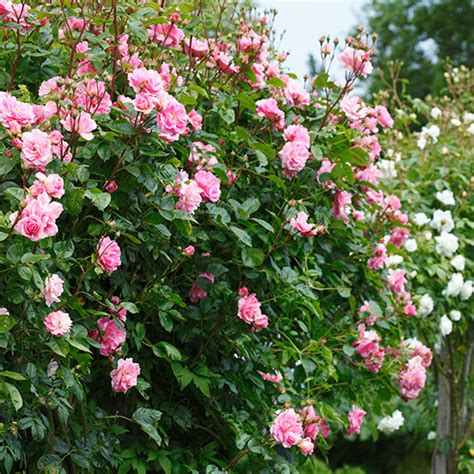 in season rambling roses ideal home
