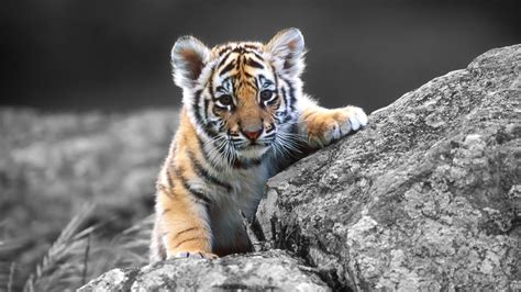 tiger puppy wallpaper tiger puppy 1920 x 1080 hd