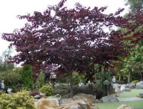the 2 minute gardener photo forest pansy redbud cercis