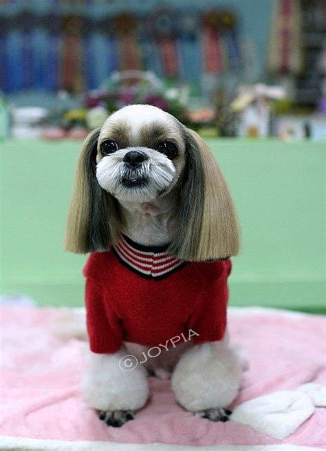 best way to groom a shih tzu japanese style grooming hairstyle gallery