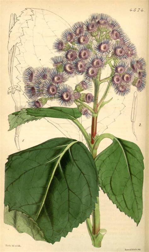 Bm Sordida hortus camdenensis eupatorium sordidum less