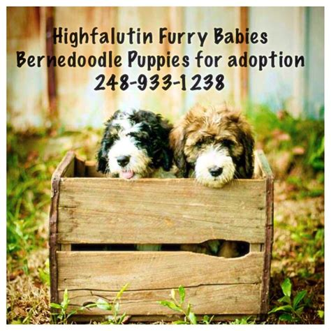 bernedoodle puppies for sale florida 15 best bernedoodles for sale 248 933 1238 images on puppys cubs and puppies