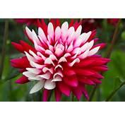 Plant Switches Flower Dahlia Free Stock Photos In JPEG Jpg