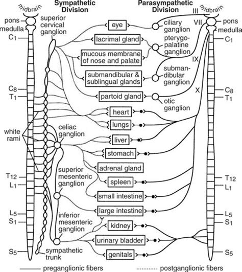 diagram of autonomic nervous system paraganglia
