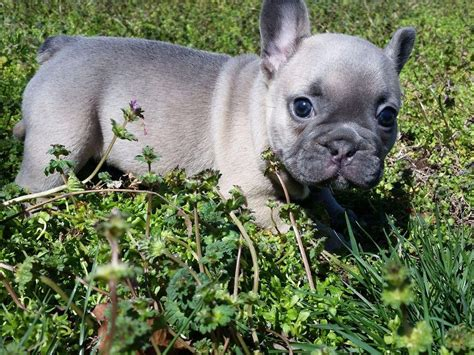 moon dogs blue moon dogs puppies for sale