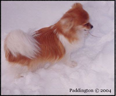 smooth coat mi ki puppies for sale 42 best images about mi ki dogs on coats dogs and cutest dogs