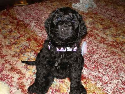 mastidoodle puppies for sale mastidoodle pictures image mag