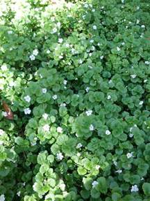 Flowers Sherman Oaks - bacopa the smarter gardener