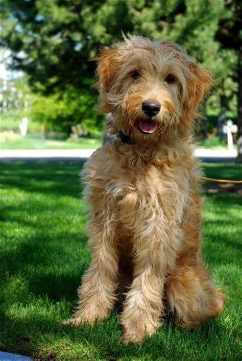 goldendoodle puppy vs an cube s goldendoodle in eagle id for when i can get a