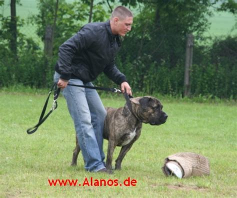 presa canario mix with rottweiler presa canario rottweiler mix breeds picture