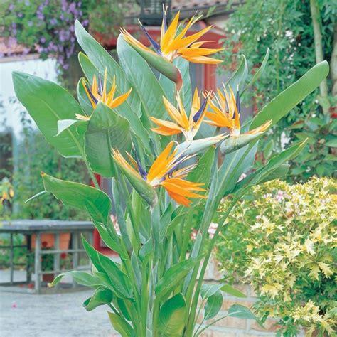 strelitzia reginae in vaso sterlizia piante da giardino coltivazione strelitzia