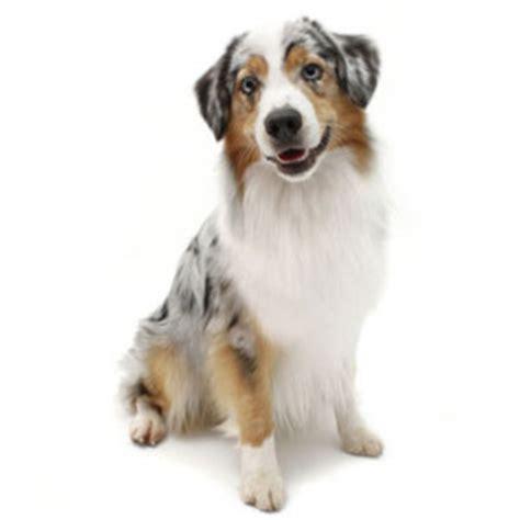 medium sized hypoallergenic dogs hypoallergenic dogs medium size www pixshark images galleries with a bite