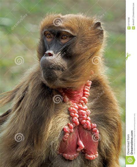 gelada monkey female stock image image  front face
