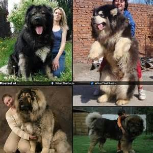 Russian caucasian mountain dogs are the dogs of your dreams senn