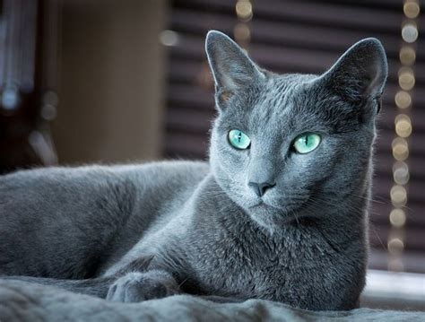 blue cats 9 best images about russian blue cats on