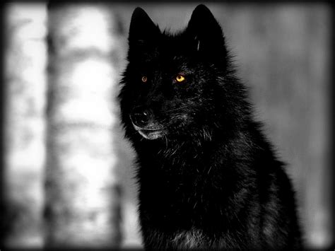 Dreaming of a black wolf   Writing as catharsis Growling Black Wolf With Yellow Eyes