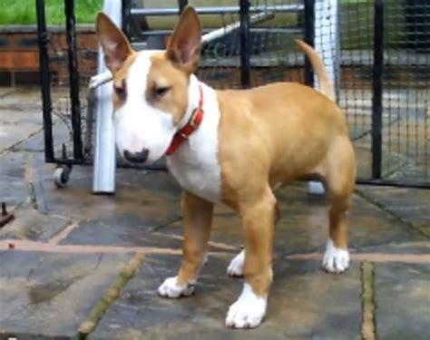english bull terrier standard miniature miniature bull terrier bull terriers pinterest