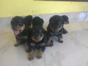 how much is a rottweiler puppy how much is a rottweiler puppy in the philippines dogs our friends photo