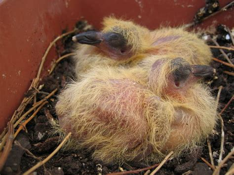 what do baby pigeons doves eat