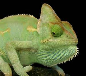 veiled chameleon colors alam mengembang jadi guru of colourfull lizards