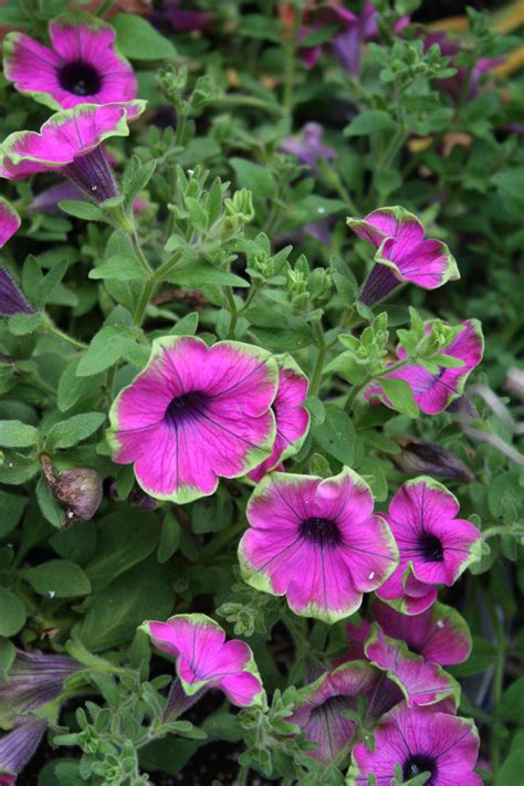 what s a petunia planting for different garden styles