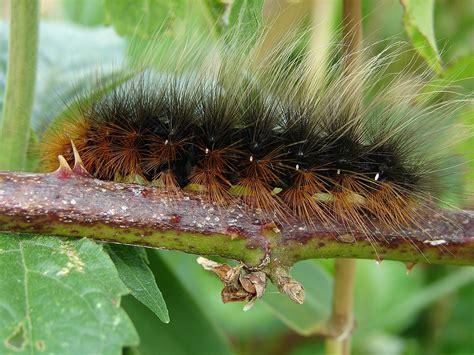 garden tiger arctia caja norfolk moths the macro and